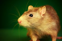 Rat on a green background Stock Photography