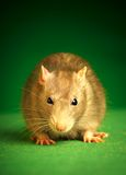 Rat on a green background Royalty Free Stock Images