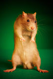 Rat on a green background Royalty Free Stock Photo