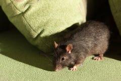 Rat on a green sofa Stock Photo