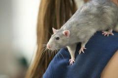 Rat gris photos libres de droits