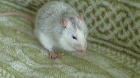 Rat gris mangeant sur la nourriture de divan, animaux familiers banque de vidéos