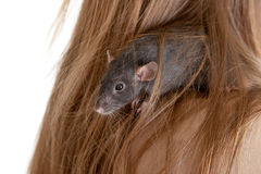 Rat in hair of the girl Royalty Free Stock Images