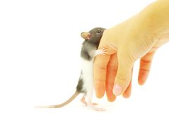 Rat in hand Royalty Free Stock Photography