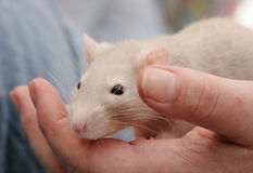 Rat in the hand. Cute fawn rat sitting on his owner's hand. Shallow depth of field stock images