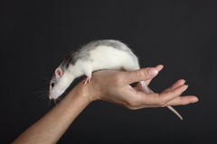 Rat on a hand Stock Photography