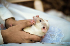 Rat in hand. Close up shot of white dumbo rat being held in someone's hands Stock Image
