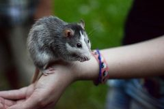 Rat on the hand royalty free stock image