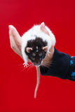 Rat in hand Stock Image