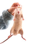 Rat in hand isolated Royalty Free Stock Images