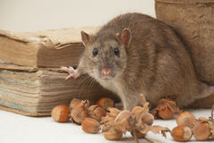 Rat. Hazalnut and old book Royalty Free Stock Photo