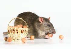 Rat with Hazeluts. A grey rat with nuts against white background Royalty Free Stock Photography