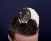 Rat on a head Stock Image