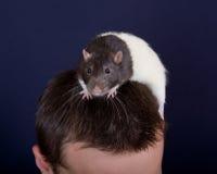 Rat on a head Stock Image
