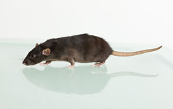 Rat and her reflection Royalty Free Stock Image