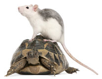 Rat and Hermann's tortoise, Testudo hermanni Stock Photo