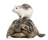 Rat and Hermann's tortoise, Testudo hermanni Royalty Free Stock Images