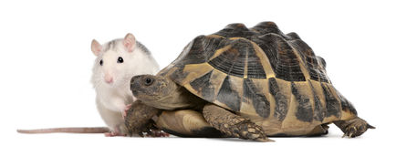 Rat and Hermann's tortoise, Testudo hermanni Stock Image