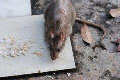 Rat het eten Stock Foto