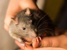 Rat het pluizige grijze kijken voorzichtig zittend in handen die op vingernadruk houden op de linkerhelft van snuit stock foto
