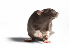 Rat on his hind legs. Rat on their hind legs on a white background