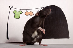 The rat in the house. Royalty Free Stock Photography