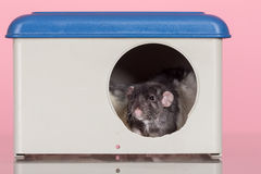 Rat in house Stock Image