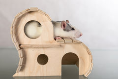 Rat in a house Stock Photo