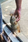 Rat humain de tapotement de contact dans la cage au zoo image stock
