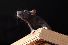 Free Rat In Library Stock Images - 6357444