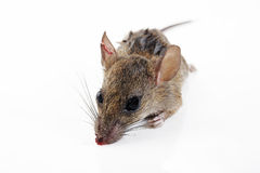 Rat injury Royalty Free Stock Images