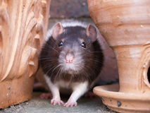 Rat investigateur d'animal familier photographie stock libre de droits