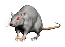 Rat isolated Stock Photography
