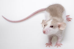 Rat isolated Stock Photos
