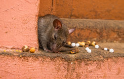 Rat in Karni Mata temple Royalty Free Stock Images