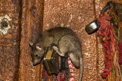 Rat in Karni Mata temple Royalty Free Stock Photo