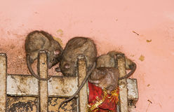 Rat in Karni Mata temple Royalty Free Stock Photos
