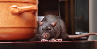 Rat in kitchen royalty free stock images