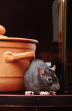 Rat in kitchen royalty free stock photography