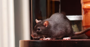Rat in kitchen Stock Images
