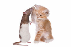 Rat and kitten Stock Photos