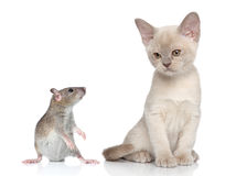 Rat and kitten portrait Stock Photography