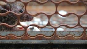 Rat in kooi stock video