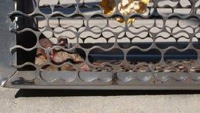 Rat in kooi stock footage