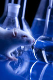 Rat in lab. Animal experiments Stock Photo