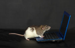 Rat with a laptop Royalty Free Stock Photos