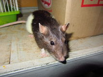 Rat Larisa. Smart and funny pet - a rat.  Spotted white-brown female Royalty Free Stock Photography
