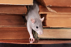 Rat  in library Stock Photos