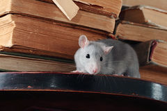 Rat  in library Royalty Free Stock Images