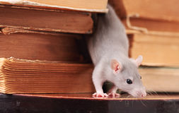 Rat  in library Stock Photo